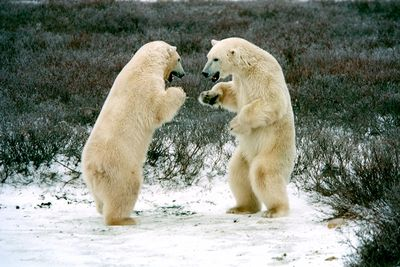 Polar_bear_brawl